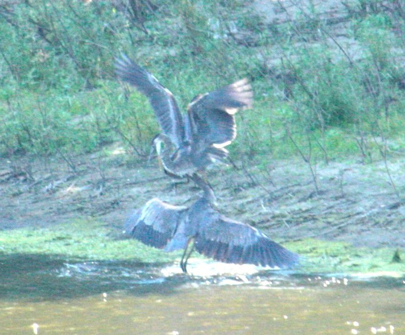 Two great blue herons attempt to settle a dispute.