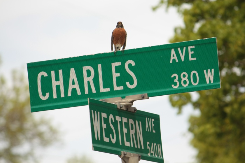 A vigilant robin keeps watch over the neighborhood at Charles and Western.