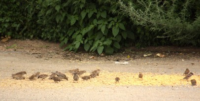 It's an all you can eat buffet for birds in front of the CHS building where grain has spilled from railroad cars.