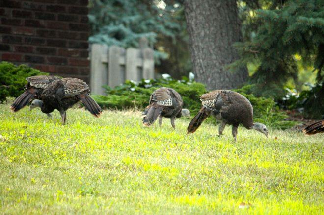turkeys 1