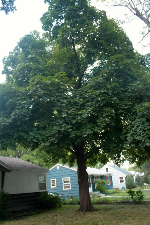Louise's dad planted this maple tree in the front yard when she and her sisters were young.