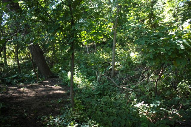 Today the woods behind Carol's house are choked with brush.