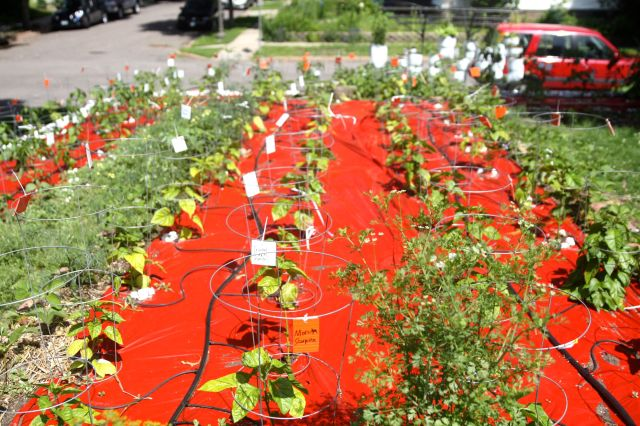 Neat rows of peppers in Krishna Wilson's front yard.