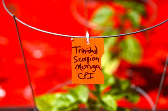 The Trinidad Scorpion Morouga pepper is considered to be the hottest in the world.