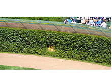 The ivy-covered outfield wall of Chicago's Wrigley Field. Photo courtesy Jimcchou
