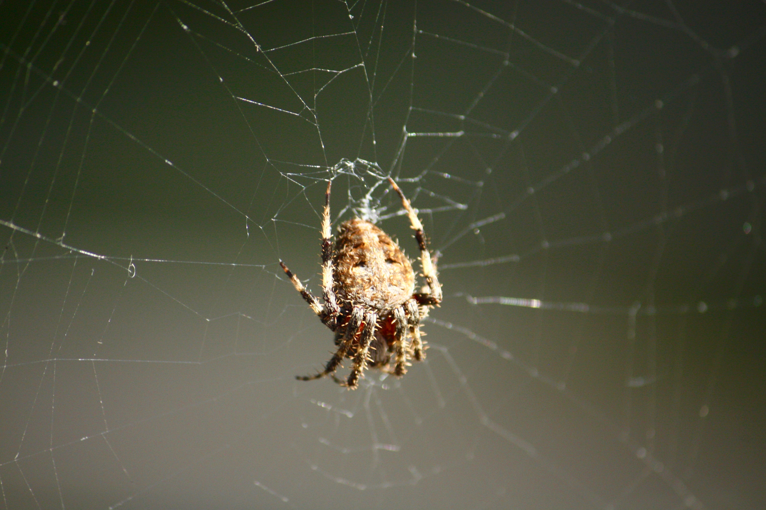 The spider, perhaps a Spotted Orbweaver, was about the size of a half dollar coin.
