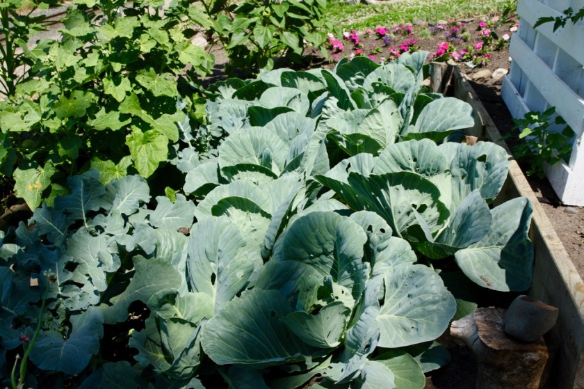 Crops in Donna's gardens include cabbage, peas and beans.