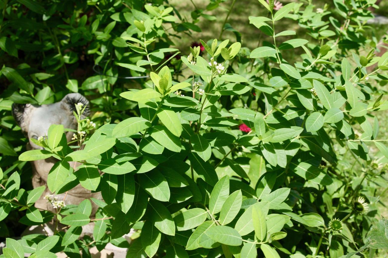 One of the white milkweed plants.