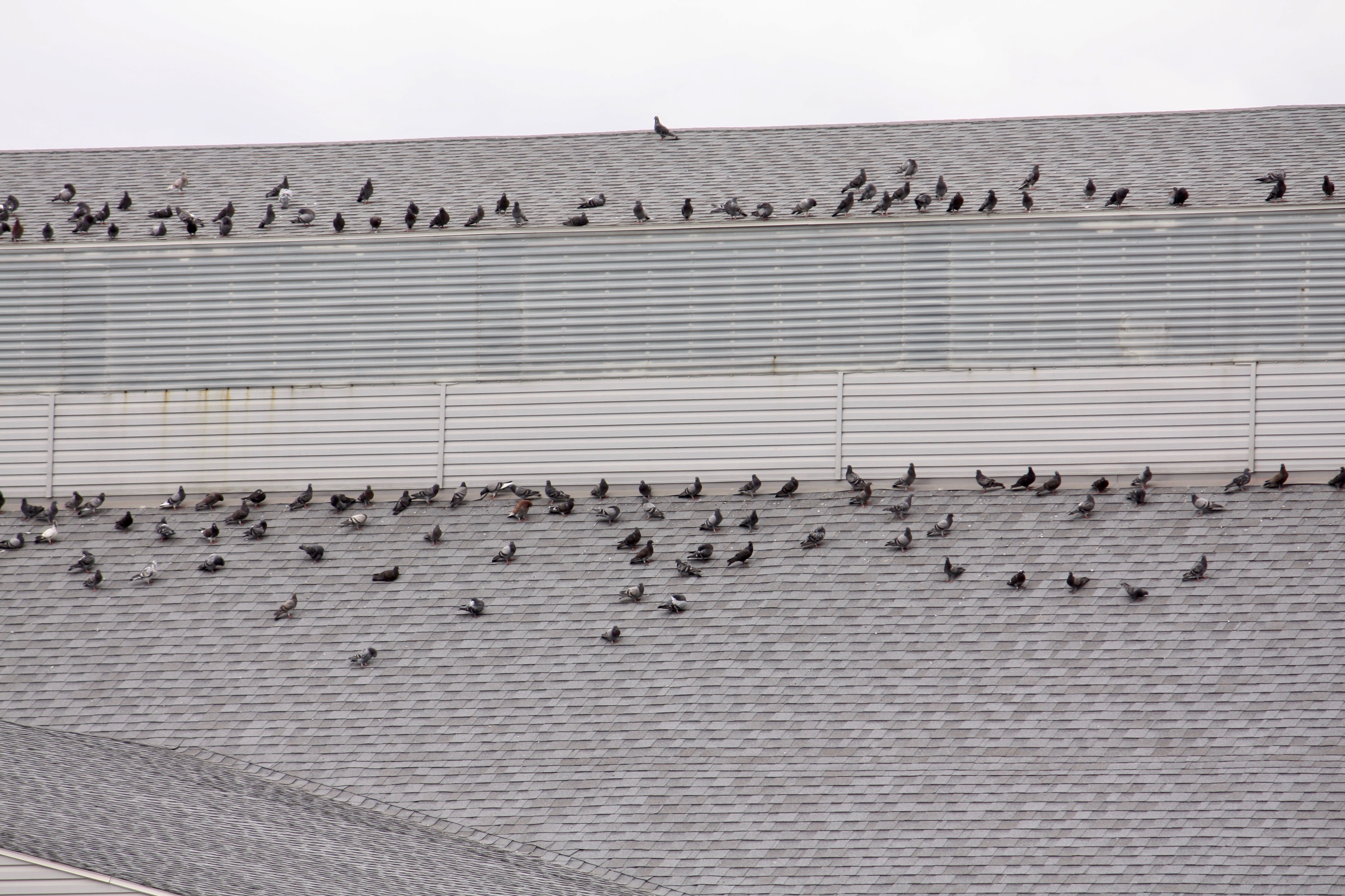 A better look at the pigeons on the roof of the ADM building.