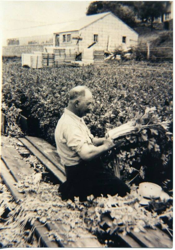 Albert Linder picks celery from his field in 1920. Courtesy Pinterest/Sharon Amorosa