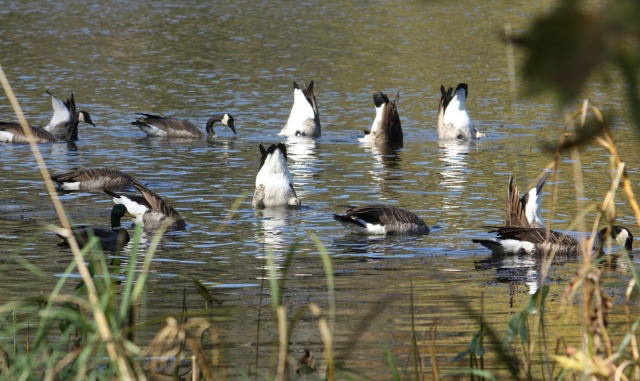 Mooning geese near the shore of Upper Lake in Crosby Nature Center.