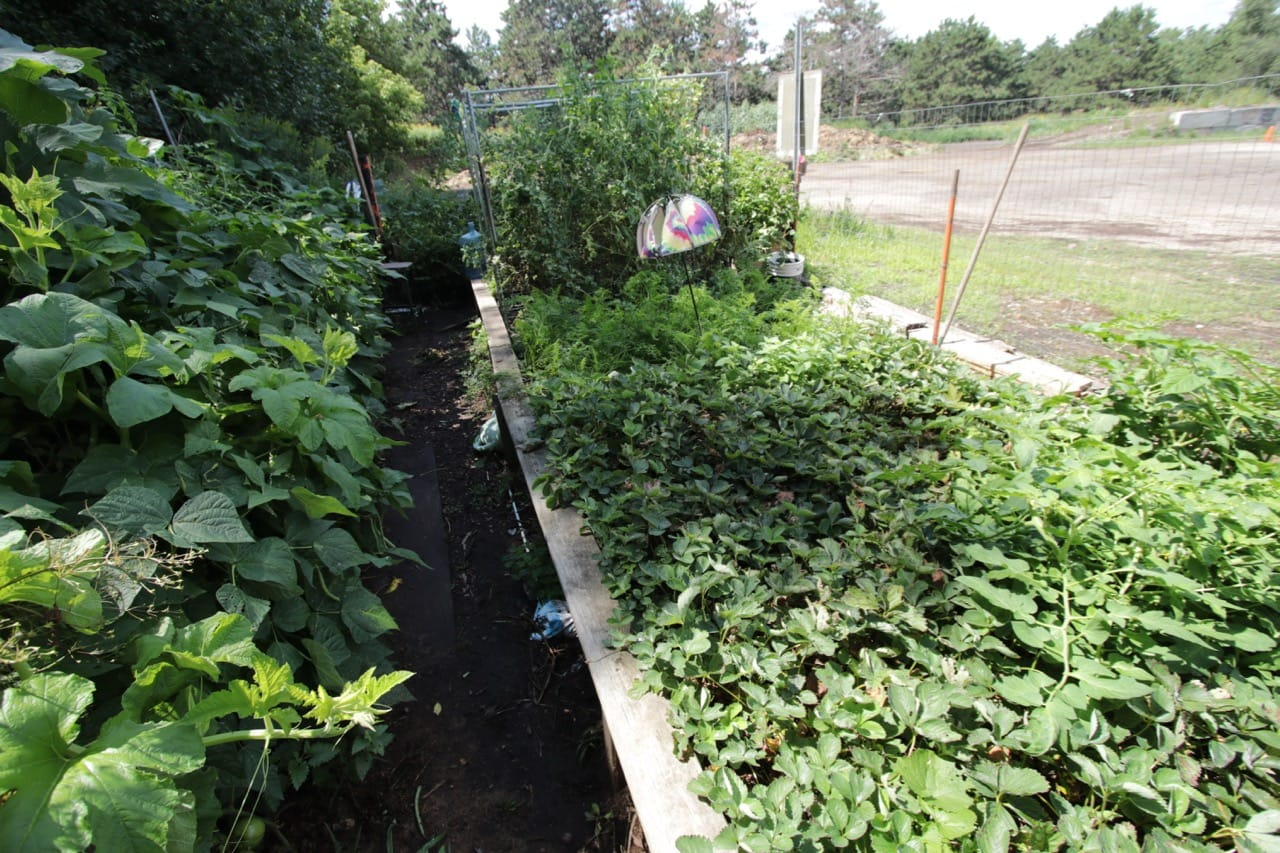 Beans and squash to the left; strawberries, carrots and tomatoes to the right.